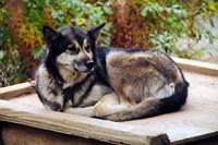 Alaskan Husky dog, Denali Park, Alaska, USA Fine Art Print