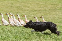 Purebred Border Collie dog herding ducks Fine Art Print