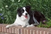 Purebred Border Collie dog lying on wall Fine Art Print