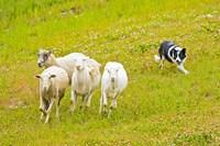 Colorado, Summit County, Border Collie dog Fine Art Print