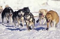 Iditarod Dog Sled Racing through Streets of Anchorage, Alaska, USA Fine Art Print