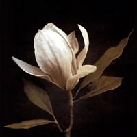 """28"""" x 28"""" Magnolia Art"""