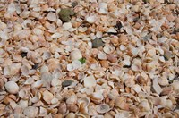 French West Indies, Shell Beach Detail of shell covered beach by Cindy Miller Hopkins - various sizes