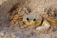 Emerald Beach Sand Crab, Lindergh Bay, St Thomas, US Virgin Islands, Caribbean by Cindy Miller Hopkins - various sizes