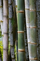 Bamboo, Jardin De Balata, Martinique, French Antilles, West Indies Fine Art Print