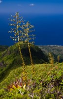Martinique, West Indies, Agave on Ridge, Mt Pelee Fine Art Print