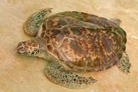 St Vincent, Grenadines Old Hegg Turtle Sanctuary Fine Art Print