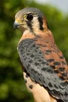 USVI, St Croix, Rescued American kestrel bird Fine Art Print