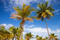 Palm trees under blue skies, San Juan, Puerto Rico Fine Art Print