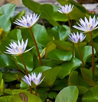 Pygmy Water Lily flower by Joe Restuccia III - various sizes