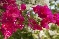 Bougainvillea flowers, Grand Cayman, Cayman Islands, British West Indies by Lisa S. Engelbrecht - various sizes