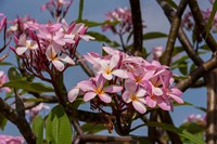 Pink Oleander Flora, Grand Cayman, Cayman Islands, British West Indies Fine Art Print