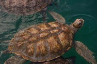 Turtle Farm, Green Sea Turtle, Grand Cayman, Cayman Islands, British West Indies Fine Art Print