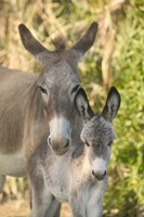 Mother and Baby Donkeys on Salt Cay Island, Turks and Caicos, Caribbean Fine Art Print