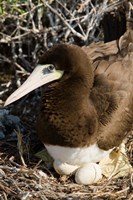 Brown Booby wildlife Cayman Islands, Caribbean by Greg Johnston - various sizes