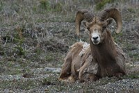 Alberta, Columbia Icefields Parkway, bighorn sheep by Alison Jones - various sizes