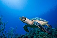 Cayman Islands, Hawksbill Sea Turtle and coral reef Fine Art Print