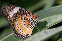 Lacewing Butterfly at the Butterfly Farm, St Martin, Caribbean by Jerry & Marcy Monkman - various sizes