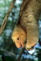 Close up of Silky Pygmy Anteater wildlife, Mangrove, Trinidad by Kevin Schafer - various sizes