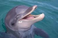 Bottlenose Dolphin, Caribbean Fine Art Print