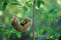 Silky Anteater wildlife, West Indies, Trinidad by Kevin Schafer - various sizes