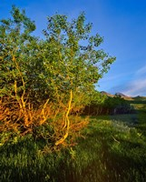 Quaking Aspen Grove along the Rocky Mountain Front in Waterton Lakes National Park, Alberta, Canada by Chuck Haney - various sizes