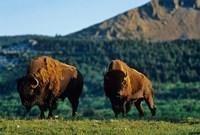 Bison bulls, Waterton Lakes NP, Alberta Canada Fine Art Print