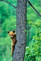 Black bear, Waterton Lakes National Park, Alberta by Chuck Haney - various sizes, FulcrumGallery.com brand