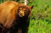 Juvenile black bear, Waterton Lakes NP, Alberta, Canada Fine Art Print