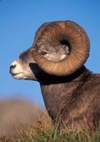 Bighorn Sheep wildlife, Jasper National Park, Alberta by Kevin Schafer - various sizes