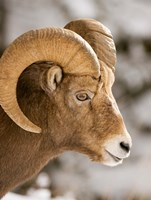 Bighorn sheep, Maligne Canyon, Jasper NP, Alberta by Paul Colangelo - various sizes - $36.99