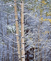 Alberta, Peter Lougheed PP Aspen trees in snow Fine Art Print
