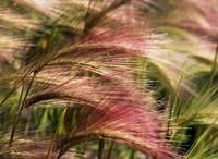 Foxtail barley, Banff NP, Alberta, Canada by Stuart Westmorland - various sizes