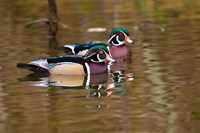 Wood ducks, British Columbia, Canada Fine Art Print