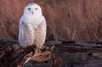 Snowy owl, British Columbia, Canada Fine Art Print
