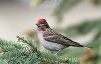 Close-up of Male Cassin's Finch in Pine Tree, British Columbia, Canada by Jaynes Gallery - various sizes