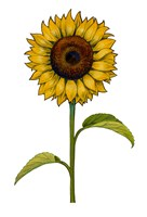 Floral Sunflower by Christine Kerrick - various sizes