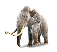 Woolly Mammoth, White Background Framed Print