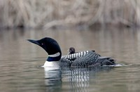 British Columbia Common Loon with chick Fine Art Print