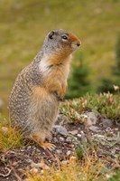 British Columbia, Banff NP, Columbian ground squirrel Fine Art Print