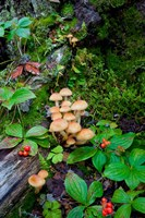 British Columbia, Bowron Lakes Park Bunchberry, Forest Fine Art Print