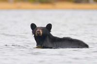 British Columbia, Bowron Lakes Park, Black bear Fine Art Print