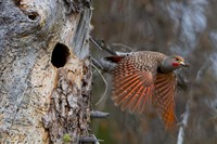 British Columbia, Red-shafted Flicker bird Fine Art Print