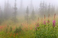 Misty Meadow Scenic, Revelstoke National Park, British Columbia, Canada by Jaynes Gallery - various sizes