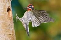 British Columbia, Red-naped Sapsucker bird Fine Art Print