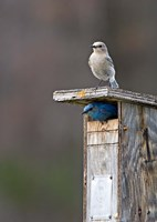 Mountain Bluebirds, British Columbia, Canada by Charles Sleicher - various sizes