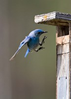 British Columbia, Mountain Bluebird Fine Art Print