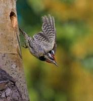 British Columbia, Red-naped Sapsucker, flight, nest Fine Art Print