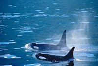 Killer Whales feeding in Johnstone Strait, British Columbia, Canada Fine Art Print