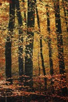 Wind in the Trees by Philippe Sainte-Laudy - various sizes